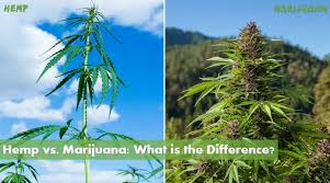 Differences between hemp and marijuana