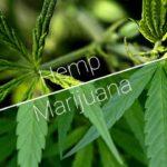 Hemp vs Marijuana:similarities and differences